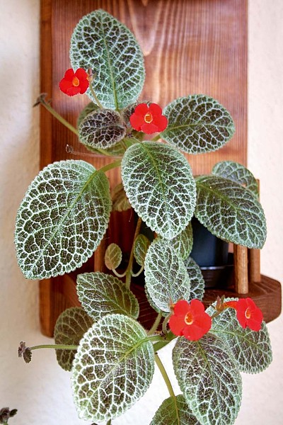 Episcia Tiger Stripe