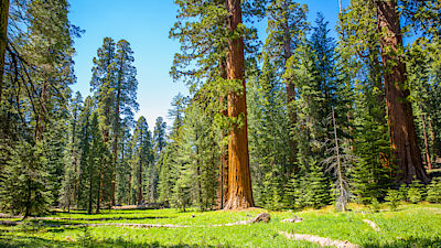 iant sequoia trees in a meadow at Mariposa Grove
