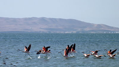 group of flamingos flying abowe the sea in Paracas