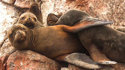 Peru, Paracas, National Reserve. Sea lions are sleeping on the rock under the sun.