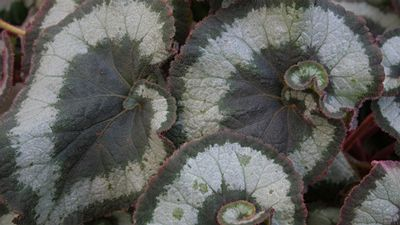 Begonia Olympica